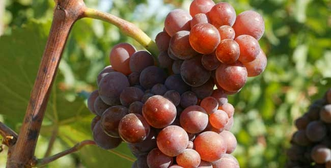 Pinot Gris Grand Cru: quel style?